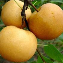 出售2公分梨树3公分梨树4公分梨树5公分梨树6公分梨