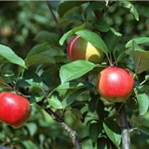 出售2公分3公分4公分5公分苹果树出售2、3、4、5