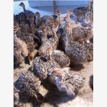 溫州鴕鳥苗-平陽非洲鴕鳥苗-全年有鴕鳥苗批發