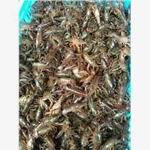全国小龙虾种苗价格 龙虾苗批发