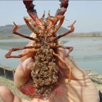 冬季小龙虾种苗价格稻田如何养殖小龙虾小龙虾种苗直销