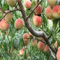 冬桃树苗批发价格  产地直销现挖现卖优质低价冬桃树苗
