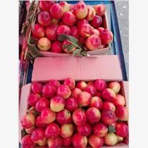 大棚油桃收購價格