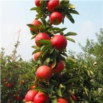 柱狀蘋果苗價格 基地直供潤太一號柱狀蘋果樹苗