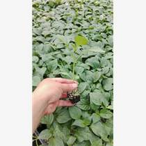 偃師蔬菜辣椒苗品種 出售黃綠皮辣椒種苗