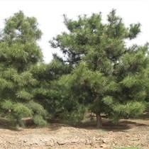 小葉女貞造型樹、造型油松造型黑松