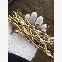 薄荷种苗盆栽食用薄荷苗