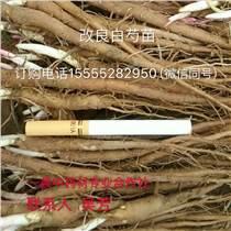 安徽亳州白芍種苗價格芍藥種植基地