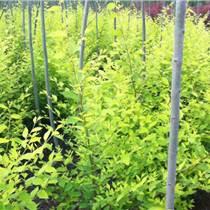 綠化能手-河北金葉榆