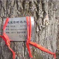 供應橡樹種子 栓皮櫟種子500噸