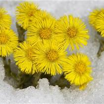 款冬花種子種苗種根20噸,款冬花種子多少錢