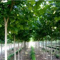 山东法桐种植基地大量供应法桐树苗