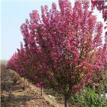 山東絢麗海棠種植基地大量供應絢麗海棠樹苗