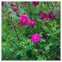 四季玫瑰花圖片