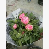 春節催花牡丹盆栽、菏澤牡丹