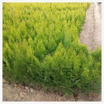 綠籬苗灑金柏小苗價格