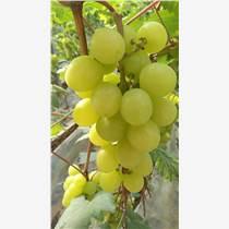 供应商厂家直销温室金秋玫瑰葡萄