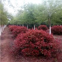 陜西寶雞紅葉石楠球基地 綠籬紅葉石楠苗