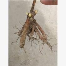 芍药花苗、和精品芍药、园林工程芍药价格
