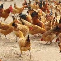 河北青年鸡养殖基地
