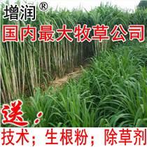 增润台湾甜象草种节多年生四季高产牧草正宗杂交象草种