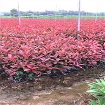紅葉石楠綠籬苗80厘米批發 陜西周至綠化苗木苗圃基地