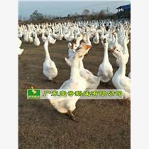 大白鵝苗大種型白鵝大三花包打疫苗包運輸路損