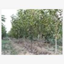 出售3公分櫻桃樹 4公分櫻桃樹價格
