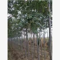 供應2-5公分柳樹欒樹