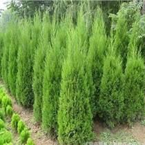 大量低價供應綠化儈柏油松 華山松