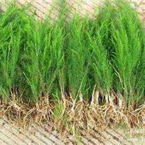 河北蘆筍種子哪里買蘆筍種子價格可試種