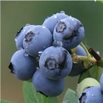 進口野生藍莓濃縮汁 野生藍莓濃縮清汁供應