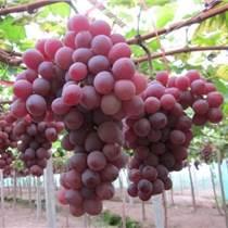進口紅葡萄濃縮汁 紅葡萄原漿 紅葡萄清汁