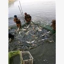 出售鯉魚苗適合北京地區大面積養殖
