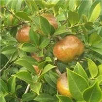 最好的油茶苗品種,油茶苗批發,油茶種苗價格