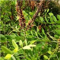 廣西南寧  紫穗槐種子  灌木種子  批發價格