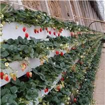 草莓槽立體種植架廠家生產定制