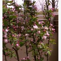 海棠樹和蘋果樹