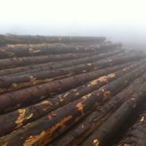歐洲云杉原木長材 新鮮砍伐