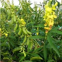 豬屎豆種子  草籽批發邊坡綠化灌木沙土鞏固易存活