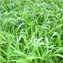 大量批發零售寬葉雀稗種子草坪種子、牧草種子