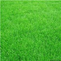 大量批發零售四季青種子草坪種子、牧草種子