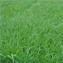 大量批發零售黑麥草種子草坪種子、牧草種子