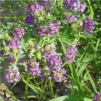 大量批發零售紫花苜蓿種子草坪種子、牧草種子
