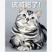 科學養寵照料老年的短毛貓